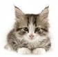 La ecografía puede predecir la presencia y localización de lesiones histológicas en el intestino delgado en gatos