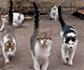 Publican pautas actualizadas sobre los retrovirus en gatos