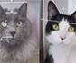 Investigadores evalúan la escala de dolor en gatos mediante su expresión facial