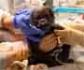 Nace un bebé gorila de una especie en peligro de extinción en Boston, tras una complicada cesárea que los veterinarios realizaron con éxito