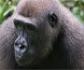 Un cuidador contagia de coronavirus a 13 gorilas de un zoológico en Estados Unidos