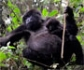 El gorila de montaña sale de la lista de especies ���en peligro crítico��� de extinción
