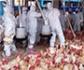 La OMS asegura que el riesgo de transmisión de la gripe aviar para los humanos aún es bajo