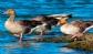 Situación epidemiológica de la influenza aviar en España y en el resto de Europa