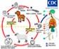 Investigadores españoles abren nuevas vías para el diagnóstico y el tratamiento de la hidatidosis