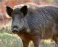 Alemania notifica 19 casos de peste porcina africana en jabalíes, en 5 días