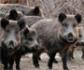 En Alemania, la peste porcina africana salta a un nuevo distrito de Sajonia