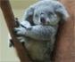 Alertan de que el koala está 'funcionalmente extinto' en Australia y reclaman una ley de protección para ellos