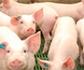 Desvelado el mecanismo por el cual la beta-toxina de Cl. perfringens, ataca a las células vasculares intestinales del cerdo