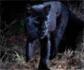 Un leopardo negro, fotografiado en África por primera vez en 110 años
