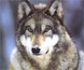 La problemática del lobo de Castilla y León viaja hasta Bruselas, para pedir un plan de gestión y control
