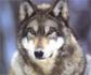 WWF denuncia ante la Fiscalía las batidas indiscriminadas de lobos en un tercio de Asturias