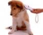 Condenado por intrusismo un criador de perros por implantar microchips