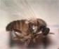 Plaga de mosca negra en algunas zonas de Madrid, cuya picadura produce una fuerte reacción alérgica