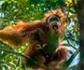 Descubren en Sumatra una nueva especie de orangután