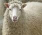 Factores que favorecen el desarrollo de la resistencia a los antihelmínticos en el ganado ovino
