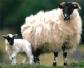 Científicos desarrollan una prueba para detectar problemas de bienestar animal en ovino