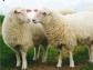 El nuevo pastoreo del siglo XXI se centra en collares en el ganado que se controlan desde el móvil
