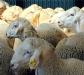 Un tratamiento paraprobiótico puede ser la solución contra un parásito de ovino