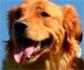 Corticoides para perros: efectos secundarios por uso continuado