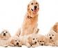 Diagnóstico del síndrome del ovario remanente en perras