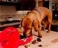 Aumentan las intoxicaciones de perros por la ingesta de chocolate en Navidad