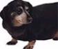 Obesidad en perros: a mas peso, menos vida