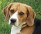 Las fuentes de almidón influyen en la lipidemia de los perros diabéticos