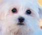 Tratamiento quirúrgico de la torsión del lóbulo pulmonar en perros