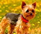 Las enteropatías inflamatorias de origen dietético son la causa más común de diarrea crónica en perros