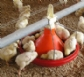 EE.UU notifica un caso de influenza aviar en una explotación de Texas