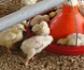Producción de aves libres de antibióticos y seguridad alimentaria