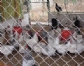 Desarrollan pollos modificados genéticamente para evitar nuevas pandemias de gripe aviar