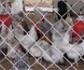 Los productores de pollo han reducido un 70% el uso de antibióticos en 4 años
