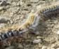 Madrid inicia la campaña contra la procesionaria del pino, un peligro tanto para la salud de las personas como de las mascotas