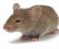 Una terapia génica logra revertir la diabetes tipo 2 y la obesidad en ratones
