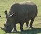 Científicos crean embriones sintéticos para evitar la extinción del rinoceronte blanco