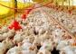 La industria española de sanidad y nutrición animal creció un 5,01% en 2017