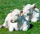 Avances y resultados de la transferencia de embriones en bovinos