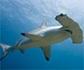 La dramática desaparición de tiburones y rayas, que los pone en camino de la extinción