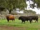 Tordesillas cambiará el Toro de la Vega por el Toro de la Peña, sin lidia ni muerte, para cumplir la normativa