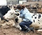 Usar el conocimiento del comportamiento social del ganado, para mejorar el bienestar