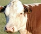 Prueban con éxito una vacuna de ADN contra el herpes bovino