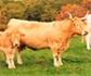 La ganadería y sus 'vacas bombero', una garantía para reducir el impacto de los incendios forestales en España
