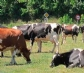 El mal de las 'vacas locas' reaparece en Europa, ahora en una granja de Escocia