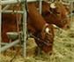 Un sistema inalámbrico permitirá a los ganaderos obtener información del animal de forma remota