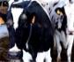 Bayer reúne en Roma a 300 expertos en vacuno de leche para debatir sobre los retos de futuro