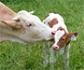Las interacciones entre el útero y los embriones clonados son la causa del bajo éxito de la clonación en bovino