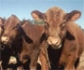 Mesa Redonda sobre 'Bioseguridad en explotaciones de vacuno de carne', en la sede del COVM
