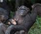 La chimpancé que rehabilitó nuestra colegiada Rebeca Atencia y que liberó junto a Jane Goodall, se convierte en madre en plena naturaleza